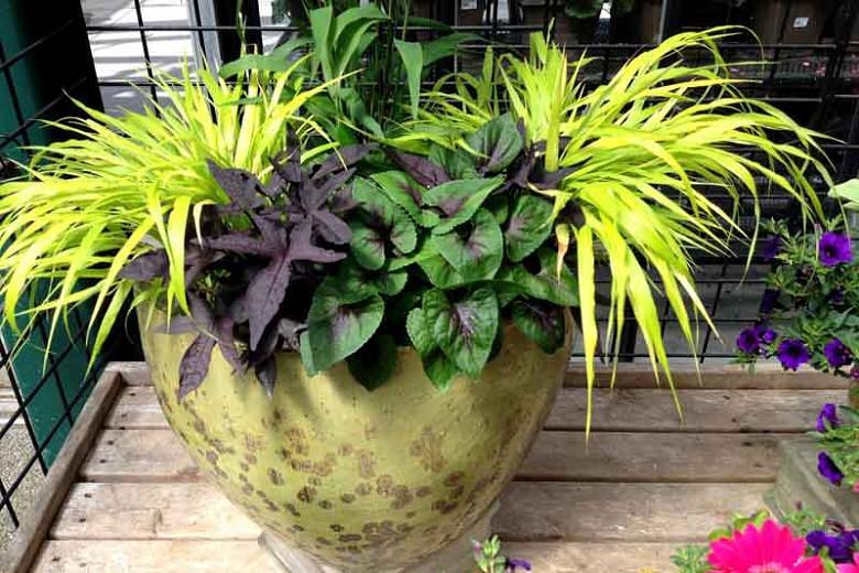 Viola 'Heartthrob', Violet 'Heartthrob', Hardy Violet 'Heartthrob', violet flowers, perennials, purple flowers, pink flowers, spring flowers