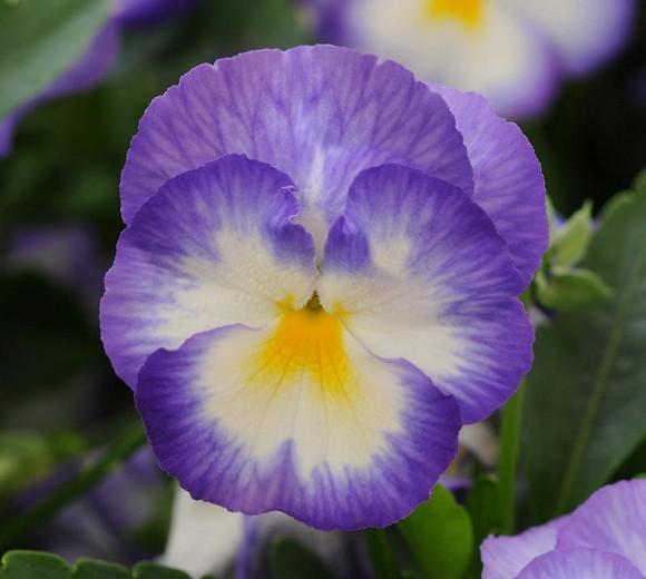Viola Cornuta Halo Lilac Horned Violet