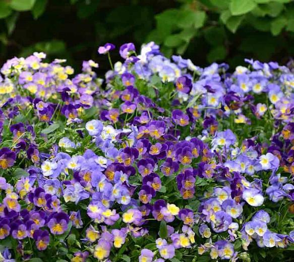 Viola 'Halo Lilac', Violet 'Halo Lilac', Perennial Pansy 'Halo Lilac', Winter Pansy 'Halo Lilac', Purple flowers, pansies, fragrant perennials, evergreen perennials, evergreen flowers, white flowers