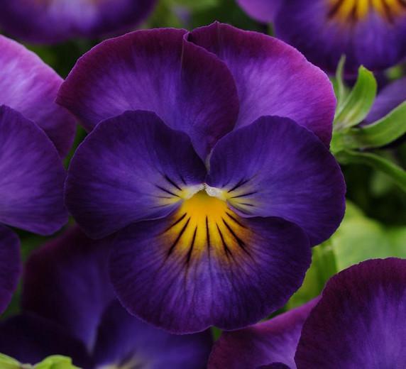Viola 'Halo Violet', Violet 'Halo Violet', Perennial Pansy 'Halo Violet', Winter Pansy 'Halo Violet', Purple flowers, pansies, fragrant perennials, evergreen perennials, evergreen flowers, yellow flowers