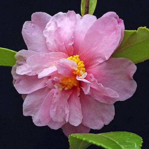 Camellia 'Winter's Charm','Winter's Charm' Camellia, Cold Hardy Camellias, Camellia Hybrids, Winter Series Camellias, Pink flowers, Fall Camellias, Fall Blooming Camellias, Winter Blooming Camellias, Early Season Camellias