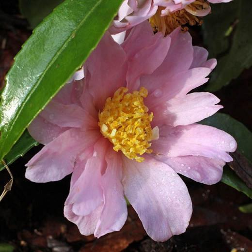 Camellia 'Winter's Rose','Winter's Rose' Camellia, Cold Hardy Camellias, Camellia Hybrids, Winter Series Camellias, Pink flowers, Fall Camellias, Fall Blooming Camellias