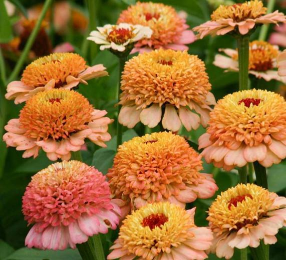 Zinnia 'Zinderella Peach', Zinnia Elegans 'Zinderella Peach', Zinderella Peach Zinnia, Peach Zinnia, Peach Flowers