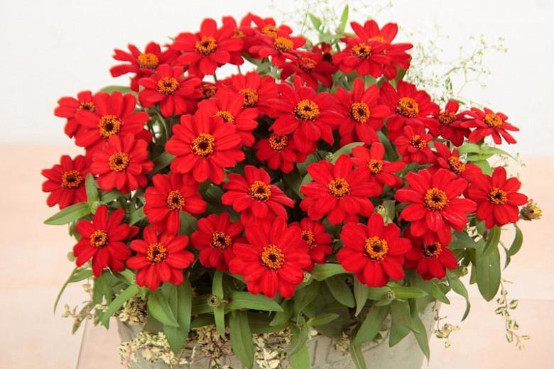 Zinnia Profusion Red, Zinnia Elegans Profusion Red, Zinnia Angustifolia Profusion Rede, Red Zinnia, Red Flowers, Drought tolerant plants, heat tolerant plants, Humidity tolerant plants, Low maintenance plants