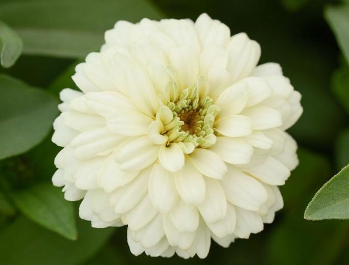 Zinnia marylandica 'Double Zahara White', Zinnia 'Double Zahara White', Double Zahara Series, White Zinnia, White Double Zinnia