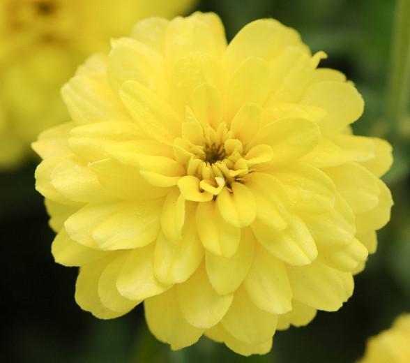 Zinnia marylandica 'Double Zahara Yellow', Zinnia 'Double Zahara Yellow', Double Zahara Series, Yellow Zinnia, Yellow Double Zinnia