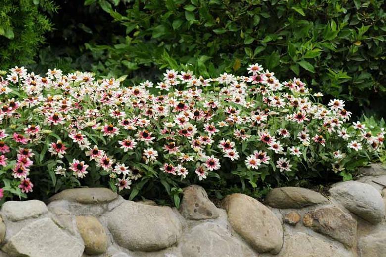 Zinnia marylandica 'Zahara Starlight Rose', Zinnia 'Zahara Starlight Rose', Bicolor Zinnia, Pink Zinnia, White Zinnia