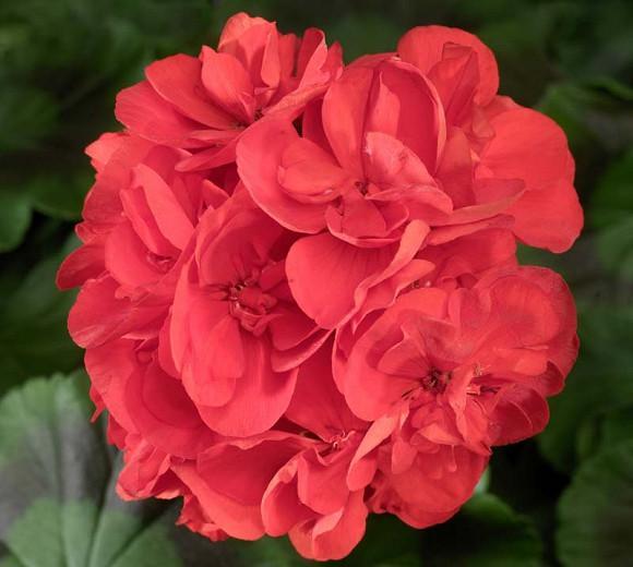 Pelargonium Americana Red, Zonal Geranium Americana Red, evergreen perennial, evergreen shrub, red flowers, Fancy Leaf Geranium 'Americana red'