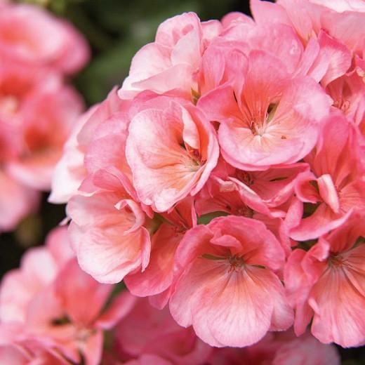 Pelargonium Americana Salmon, Zonal Geranium Americana Salmon, evergreen perennial, evergreen shrub, salmon flowers, Fancy Leaf Geranium 'Americana Salmon', pink flowers, coral flowers