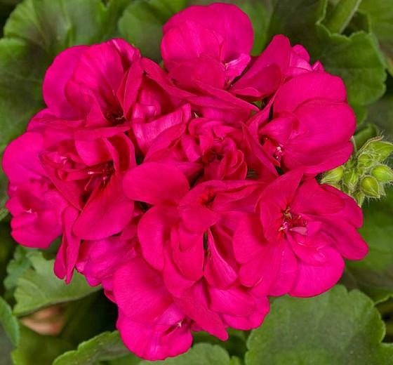 Pelargonium Americana Violet, Zonal Geranium Americana Violet, evergreen perennial, evergreen shrub, Purple flowers, Fancy Leaf Geranium 'Americana Violet'