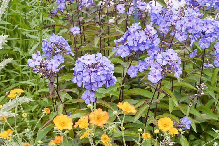 Phlox Paniculata 'Blue Paradise', Phlox 'Blue Paradise', Border Phlox 'Blue Paradise', Fall Phlox 'Blue Paradise', Garden Phlox 'Blue Paradise', Perennial Phlox 'Blue Paradise', Summer Phlox 'Blue Paradise'