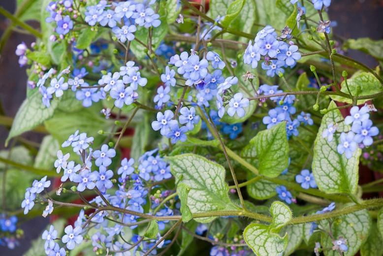 Brunnera Macrophylla 'Jack Frost' , Brunnera 'Jack Frost', Siberian Bugloss 'Jack Frost', Hearleaf Brunnera 'Jack Frost', False Forget-Me-Not 'Jack Frost', blue flowers, spring flowers