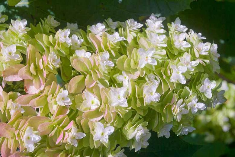 Hydrangea Quercifolia 'Snowflake',Oakleaf Hydrangea 'Snowflake', Hydrangea Quercifolia 'Brido', Hydrangea Quercifolia 'Flore Pleno', Hydrangea Quercifolia 'Snow Flake', white flowers, white hydrangea