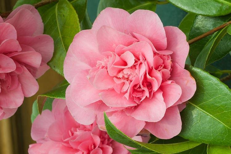 Camellia x Williamsii 'Debbie', Camellia 'Debbie', 'Debbie' Camellia, Camellia japonica 'Debbie', Winter Blooming Camellias, Spring Blooming Camellias, Mid Season Camellias, Pink flowers, Pink Camellias