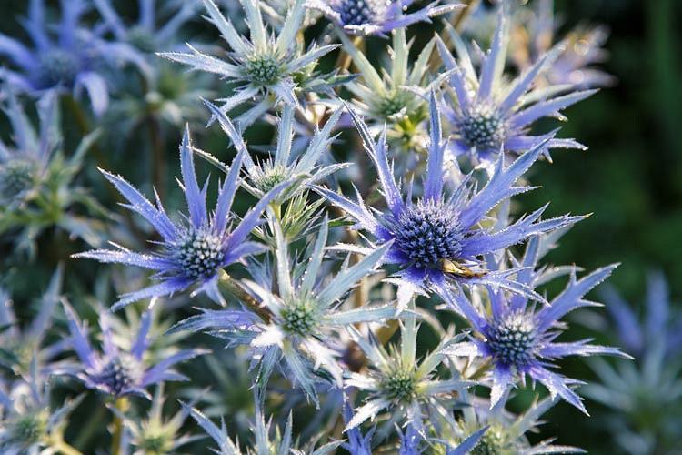 Eryngium Bourgatii Picos Blue Mediterranean Sea Holly