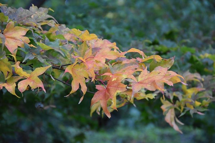 Acer palmatum 'Ichigyoji', Japanese Maple Ichigyoji, Tree with fall color, Fall color, Attractive bark Tree, Orange leaves, Orange Acer, Orange Japanese Maple, Orange Maple
