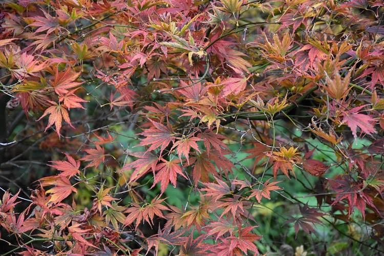 Acer Palmatum Kinran Japanese Maple