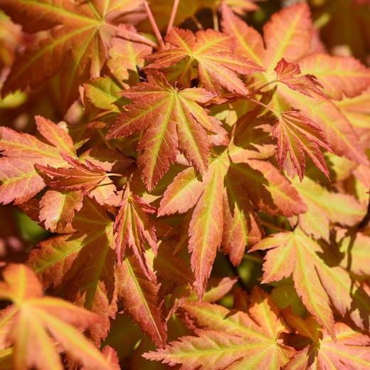 Acer Palmatum Orange Dream Japanese Maple
