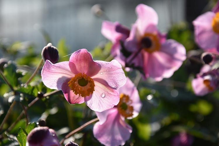 Anemone Splendens, Anemone Hupehensis var Japonica 'Splendens', Japanese Anemone 'Splendens', Windflower 'Splendens', Anemone x Hybrida 'Splendens', Anemone hupehensis 'Splendens', Anemone japonica 'Splendens', Late summer perennial, pink flowers