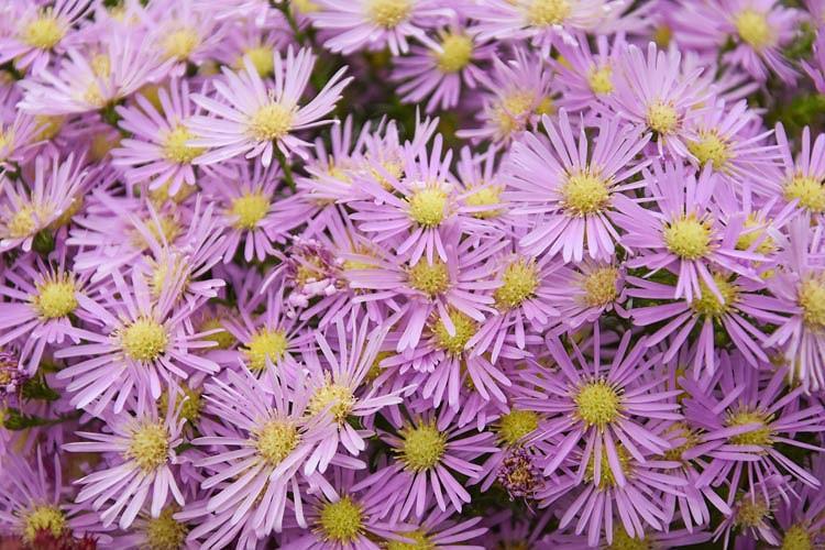 Symphyotrichum 'Ochtendgloren',(Aster 'Ochtendgloren', Michaelmas Daisy 'Ochtendgloren', pilosum var pringlei Hybrid, pink aster