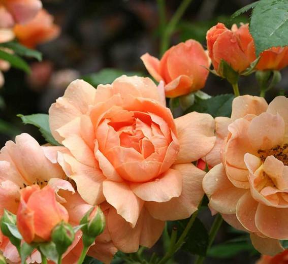 Rose 'At Last®', Rosa 'At Last®', Rosa x 'HORCOGJIL', Shrub Roses, Orange Roses, Apricot Roses, Disease Resistant Roses