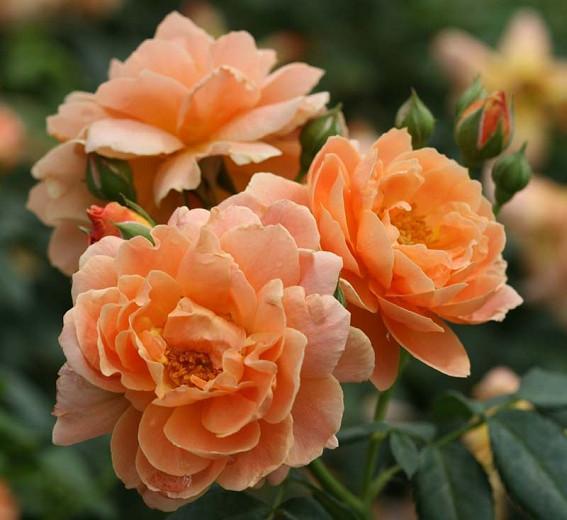Rose 'At Last', Rosa 'At Last', Rosa x 'HORCOGJIL', Shrub Roses, Orange Roses, Apricot Roses, Disease Resistant Roses