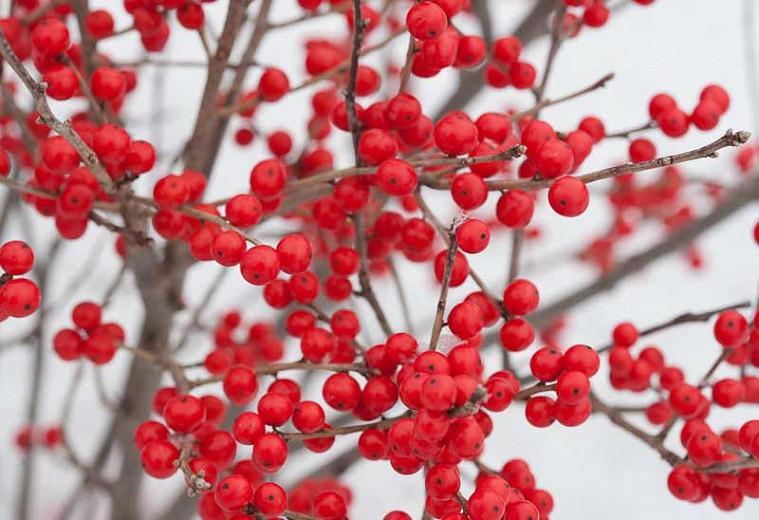 Ilex Verticillata Berry Poppins®, Winterberry Berry Poppins®, red berries, evergreen shrub, American winterberry, Aquifoliaceae, Berry, holly, Ilex, winter shrub