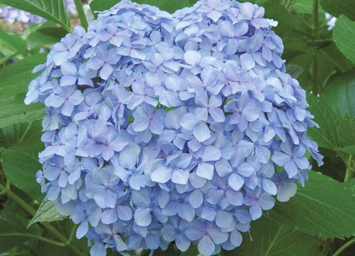 Hydrangea Macrophylla 'Big Daddy', Bigleaf Hydrangea 'Big Daddy', Mophead Hydrangea 'Big Daddy', Hortensia 'Big Daddy', Blue Hydrangea, Blue Hortensia