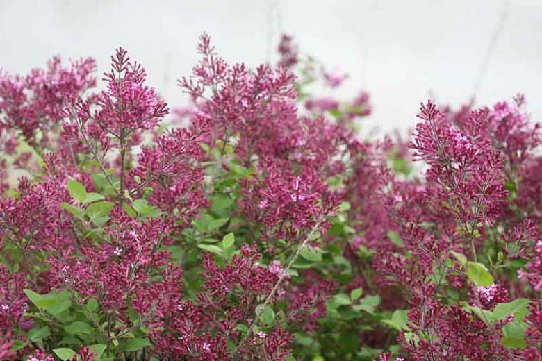 Syringa Bloomerang Dark Purple, Lilac Bloomerang Dark Purple, Bicolor Lilac, Purple lilac, Fragrant Lilac, Syringa x SMSJBP7