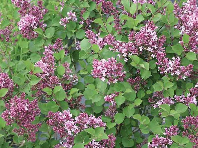 Syringa Bloomerang Dwarf Purple, Lilac Bloomerang Dwarf Purple, Bicolor Lilac, Purple lilac, Fragrant Lilac, Syringa x 'SMNJRPU'