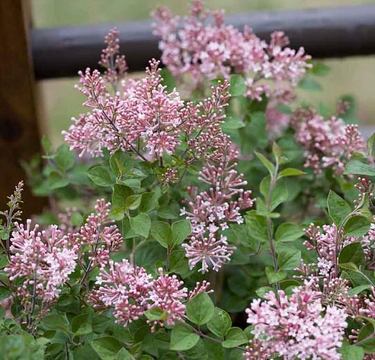Syringa Bloomerang Pink Perfume, Lilac Bloomerang Pink Perfume, Bicolor Lilac, Pink lilac, Fragrant Lilac, Syringa x SMSJBP7