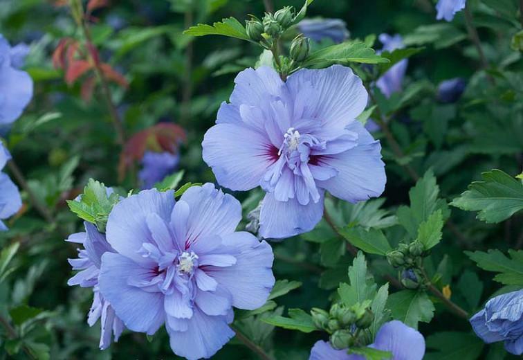 Hibiscus syriacus 'Blue Chiffon', Rose of Sharon 'Blue Chiffon', Shrub Althea 'Blue Chiffon', Flowering Shrub, Blue flowers, Blue Hibiscus