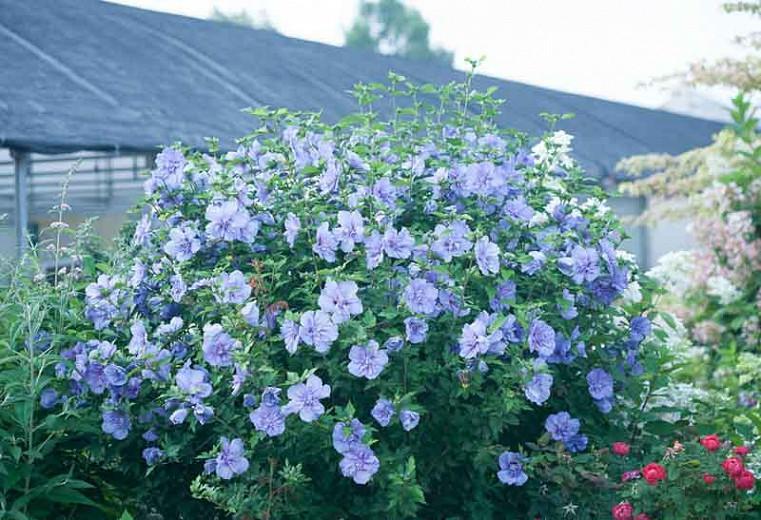 Hibiscus syriacus Blue Chiffon®, Rose of Sharon Blue Chiffon®, Shrub Althea Blue Chiffon®, Flowering Shrub, Blue flowers, Blue Hibiscus