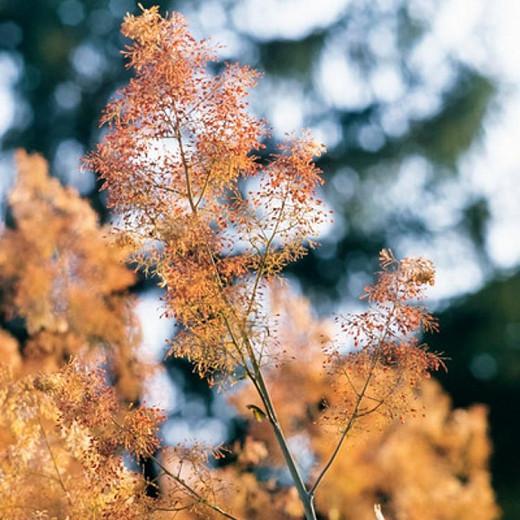 Macleaya Microcarpa 'Kelway's Coral Plume', Plume Poppy 'Kelway's Coral Plume', Macleaya microcarpa 'Coral Plume'