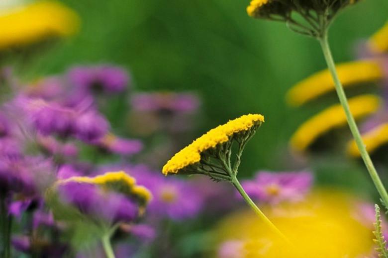 Achillea Coronation Gold, Yarrow Coronation Gold, AGM Yarrow, summer flowering perennial, drought tolerant perennial, yellow flowering perennial