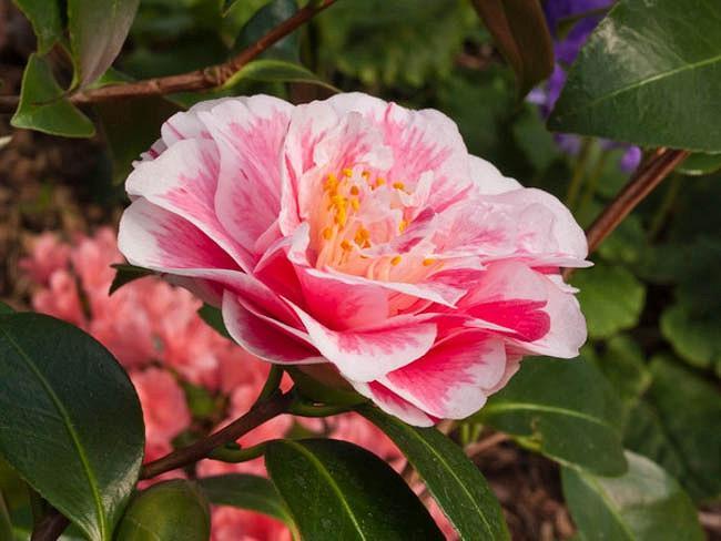 Camellia Japonica 'Lavinia Maggi', Camellia 'Lavinia Maggi', 'Lavinia Maggi' Camellia, Camellia 'Contessa Lavinia Maggi', Winter Blooming Camellias, Spring Blooming Camellias, Mid Season Camellias, White and pink flowers, White and pink Camellias, Camellia japonica