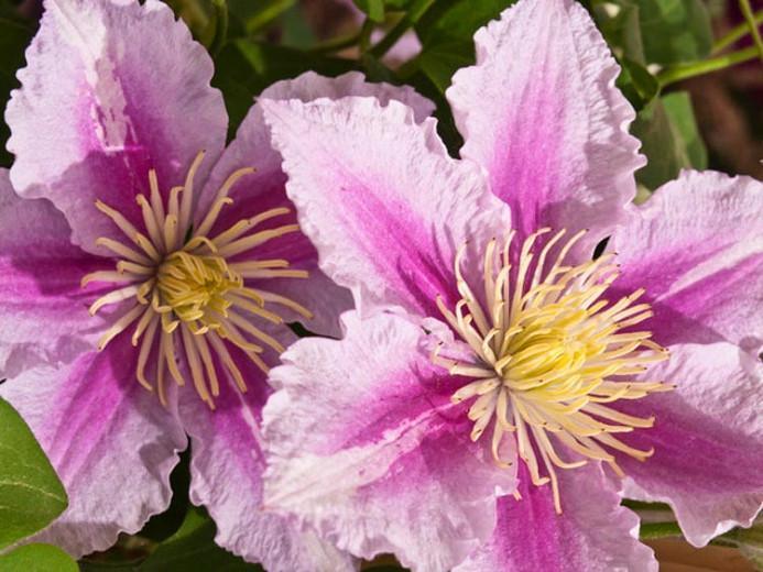Clematis 'Piilu', Large-Flowered Clematis 'Piilu', group 2 clematis, Pink clematis, Double Clematis, Clematis Vine, Clematis Plant, Flower Vines, Clematis Flower, Clematis Pruning