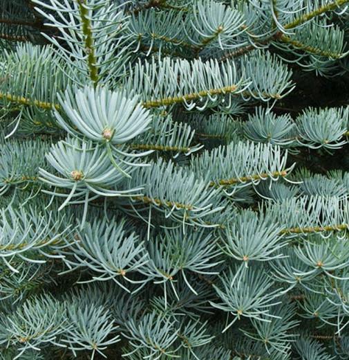 Abies concolor 'Candicans', White Fir 'Candicans', Argentea White Fir, Abies concolor 'Argentea', Evergreen Conifer, Evergreen Shrub, Blue Conifer, Blue Fir
