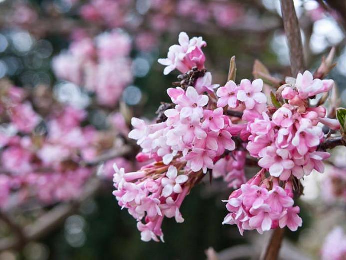 Viburnum × bodnantense 'Dawn', Arrowwood 'Dawn', 'Dawn' Viburnum, Evergreen Shrub, Fragrant Shrub, Shrub with fall color, Winter flowers, Pink Flowers