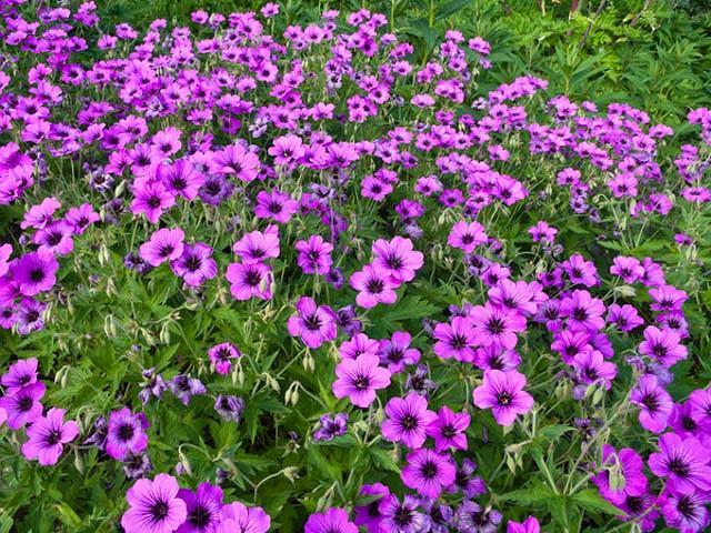 Geranium 'Patricia', Hardy Geranium Patricia, Cranesbill 'Patricia', Geranium Oxanianum x Psilostemon 'Patricia' , Geranium Endressii x Psilostemon 'Patricia', Best geraniums, Best groundcovers, purple geranium, violet geranium