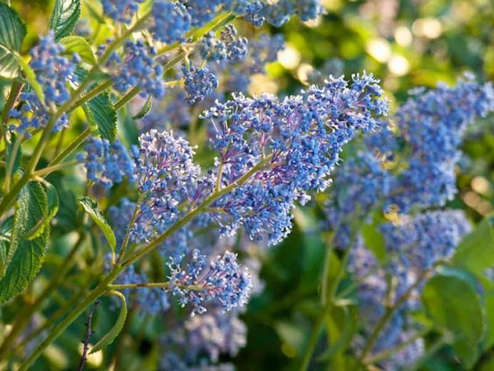 Ceanothus × delileanus 'Gloire de Versailles',  California Lilac 'Gloire de Versailles', Blue Flowers, Fragrant Shrubs,