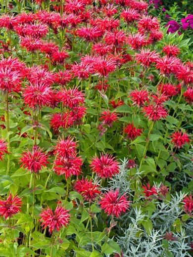 Monarda 'Gardenview Scarlet',Bee balm 'Gardenview Scarlet', Bergamot 'Gardenview Scarlet', red Monarda, red bee balm, red flowers