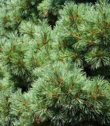 Pinus strobus 'Nana', Eastern White Pine 'Nana', Weymouth Pine 'Nana', North American Pumpkin Pine 'Nana', North American White Pine 'Nana', White Pine 'Nana', Evergreen Tree, Evergreen Shrub, Conifer