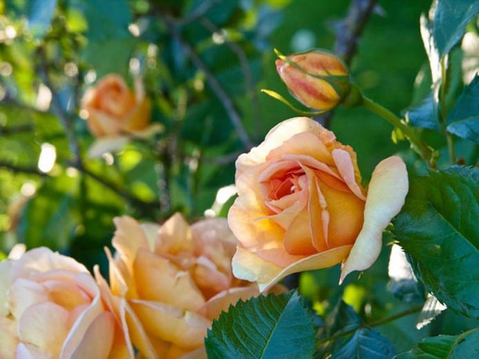 Rose Maigold, Rosa 'Maigold', Rosa 'Maigold', Climbing Pimpinellifolia Hybrid Roses, Yellow roses, shrub roses, Rose Bushes, Garden Roses, very fragrant roses, Favorite roses