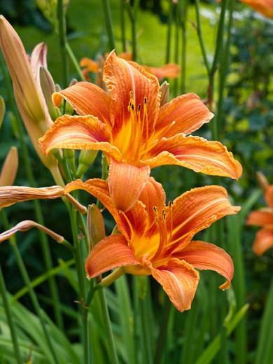 Hemerocallis Fulva, Tawny Daylily, Orange Daylily, Tiger Daylily, Ditch Lily, daylilies, Daylily, Day Lilies, Orange flowers, Orange day lily, Orange Daylily, Hemerocallidaceae, perennial, plant