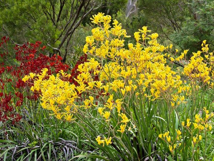Anigozanthos flavidus, Kangaroo Paw, Drought tolerant flowers, Orange flowers, Red flowers, Yellow Flowers, Pink flowers