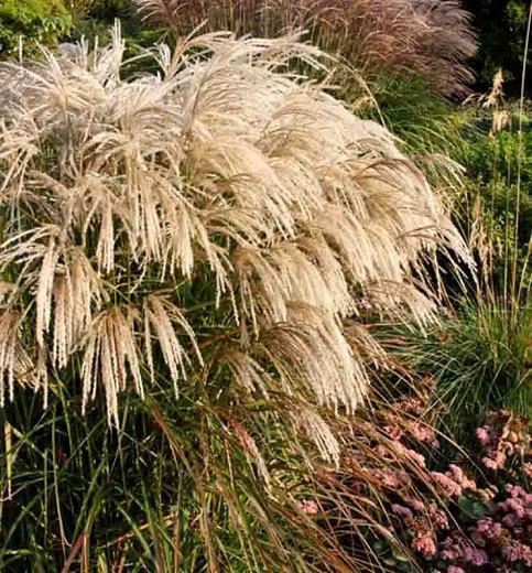 Miscanthus Sinensis 'Kaskade', Maiden Grass 'Kaskade', Eulalia 'Kaskade', Chinese Silver Grass 'Kaskade', Low maintenance grasses, Low maintenance plants
