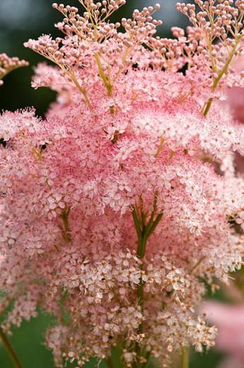 Filipendula Rubra 'Venusta', Queen of the Prairie 'Venusta', Meadowsweet 'Venusta', Filipendula Magnifica, Filipendula Rubra 'Magnifica' Filipendula Rubra 'Venusta Magnifica', Spiraea Venusta 'Magnifica', Pink Flowers