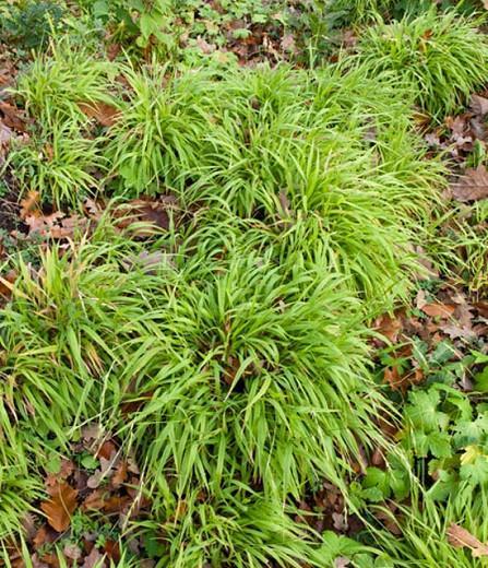 Luzula Sylvatica, Greater Wood Rush, Greater Wood-Rush, Luzula Maxima, best groundcover, perennial groundcover, perennial for shade, shade perennial
