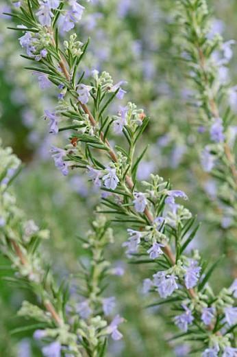 Rosmarinus Officinalis, Rosemary, herb, fragrant shrub, fragrant herb, Mediterranean Plant, Perennial Shrub